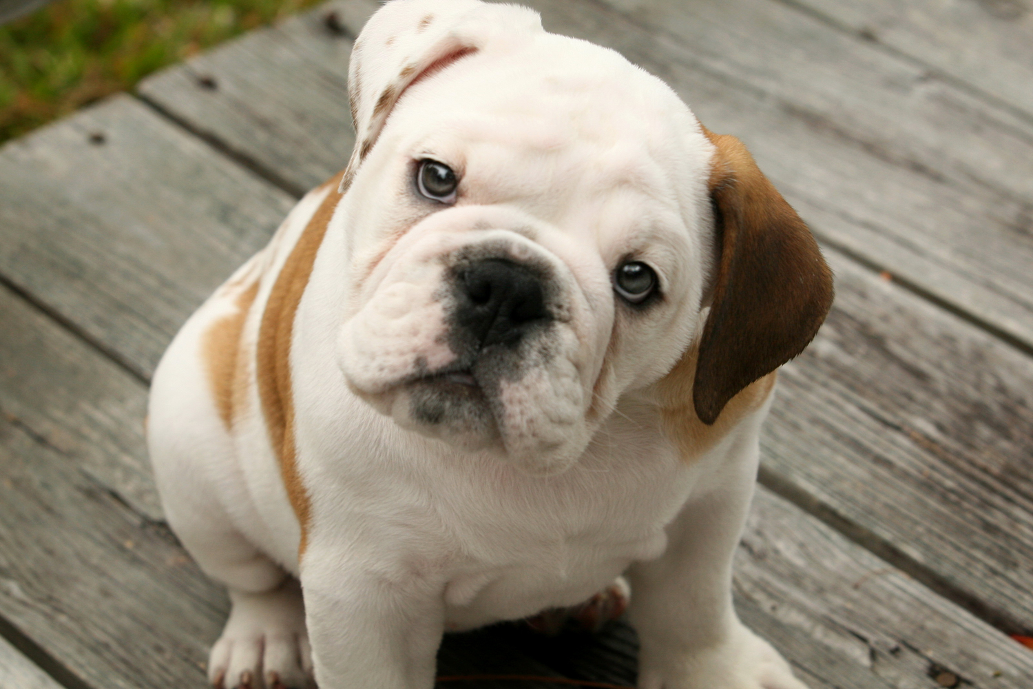 595279-english-bulldog-puppy.jpg