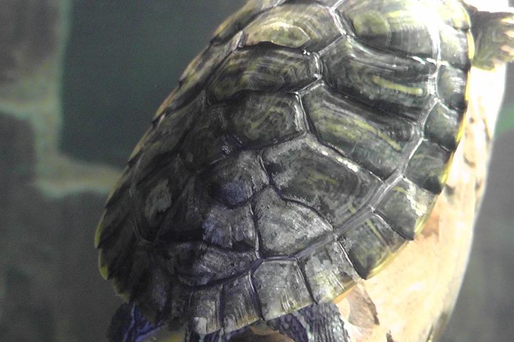 Как лечить грибок у черепахи
