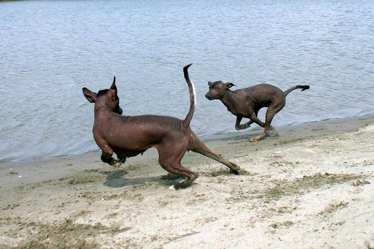 Мексиканская голая собака (ксоло)