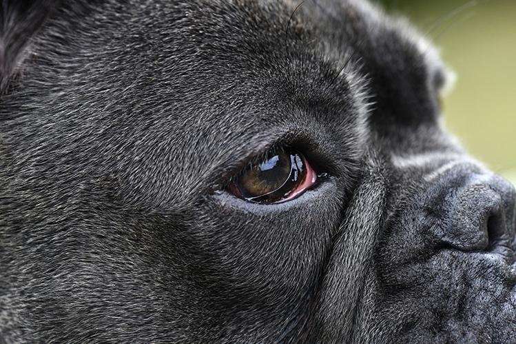 У собаки красные глаза