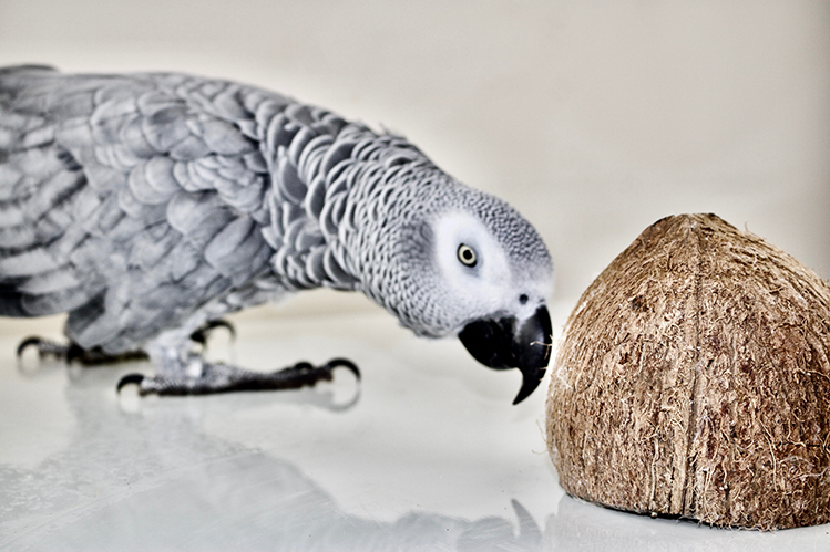 Чем кормить попугая жако?