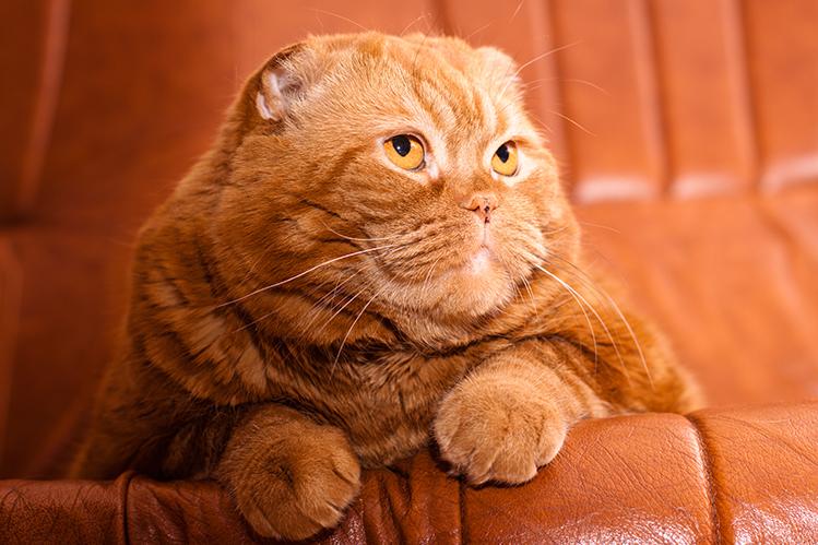 Ожирение у кошек: насколько это опасно?