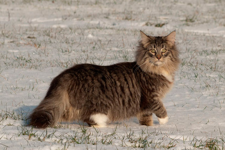 Giant domestic cat breeds