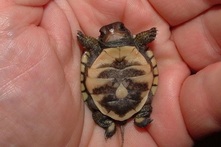 Размножение сухопутных черепах