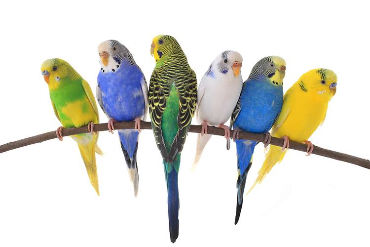 Фон волнистый попугай