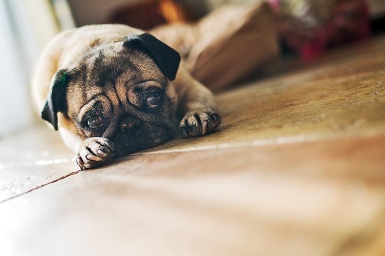 Почему собака хромает?