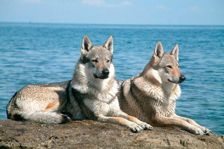 Чехословацкая волчья (влчак)