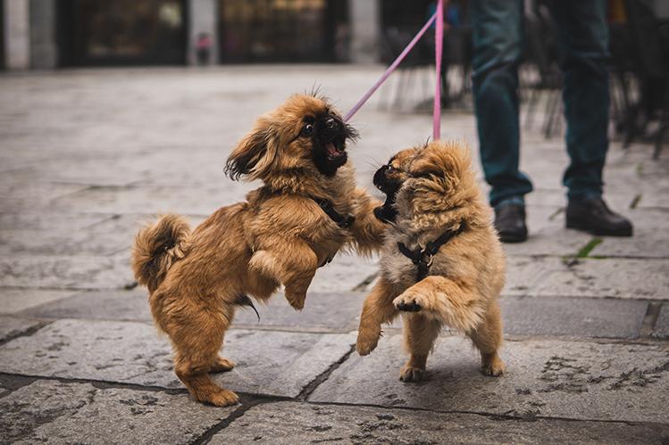Почему собаки дерутся и как предотвратить драку?