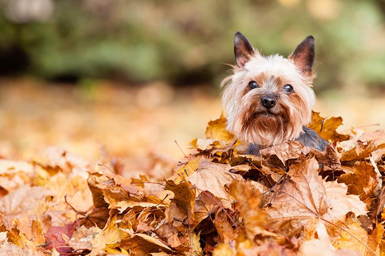 Какую опасность таят осенние листья?