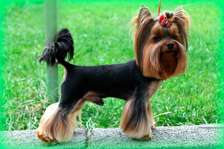 порода собак йоркширский терьер фото исподнее белье является