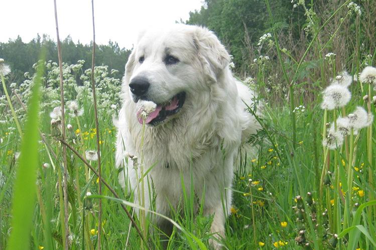 Горная пиренейская собака