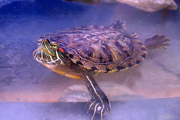 Красноухая черепаха все о ней