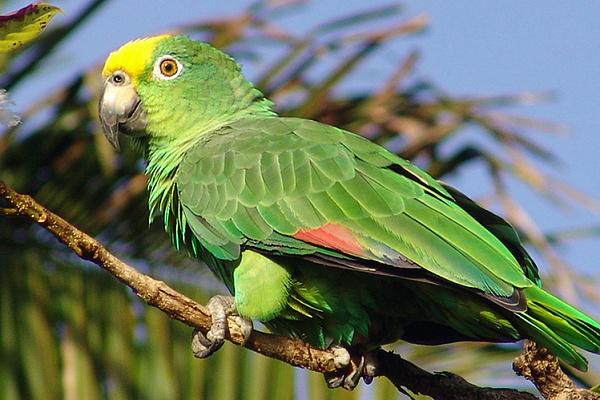 Амазонский попугай описание породы, характеристики, внешний вид ...