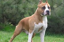 породы собак бойцовые