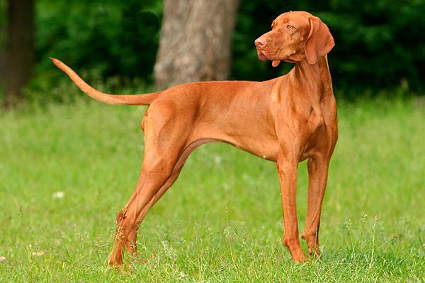 порода собак венгерская выжла