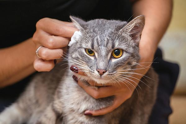 Как чистить кошке уши в домашних условиях