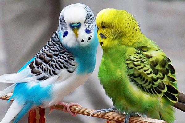 Попугаи волнистые описание породы, характеристики, внешний вид ...