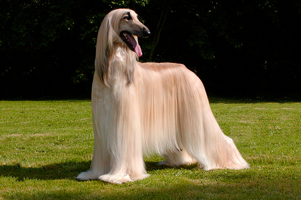 борзая собака характеристика