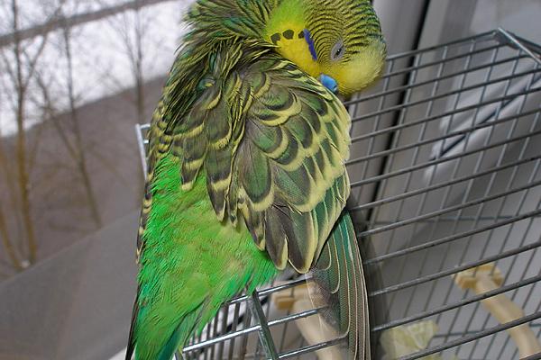 Как выглядят паразиты у попугаев