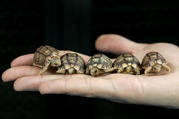 Как размножаются сухопутные черепахи в домашних условиях