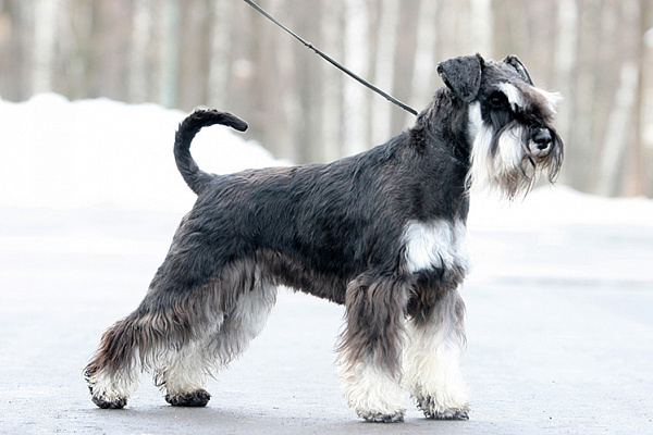 вес собаки цвергшнауцер