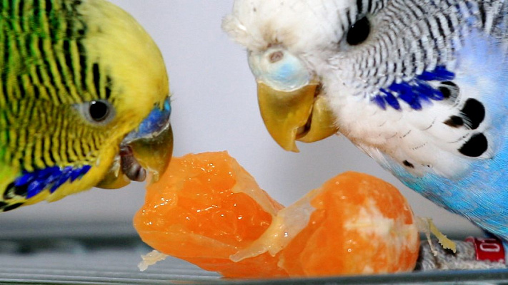 Чем кормят попугаев в домашних условиях