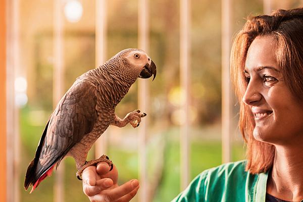 Какие попугаи лучше всего учатся говорить: виды говорящих попугаев. Как научить волнистого попугая мальчика и девочку разговаривать, как научить говорить кореллу?