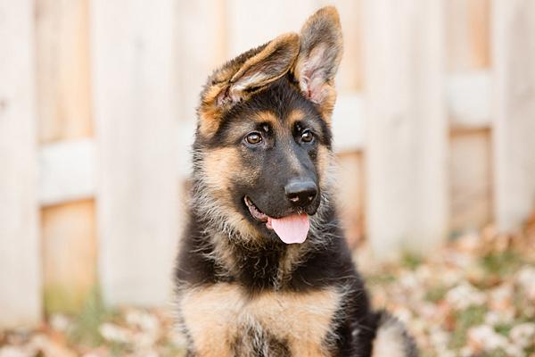 Когда у щенков немецкой овчарки встают уши и что делать если они не становятся