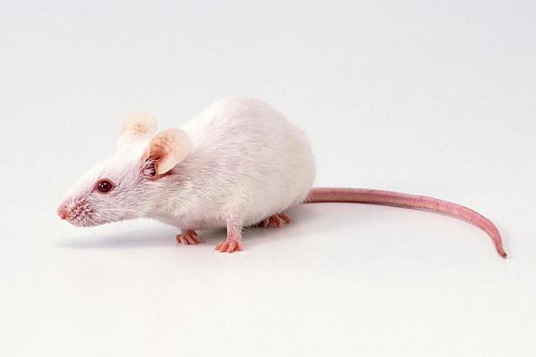 Виды декоративных мышей