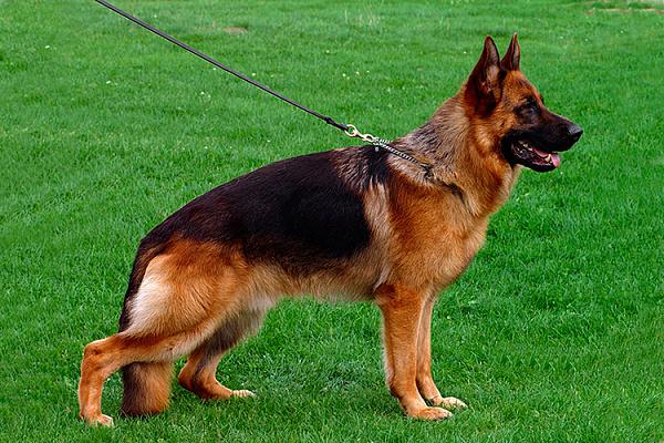 породы собак овчарка